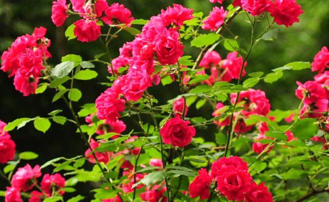 krzew rozy z sadzonki ze szkolki